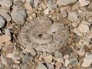 Crotalus atrox