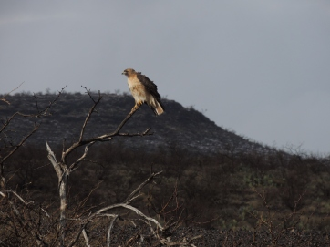 Red-tailed Hawk on Drive to the Ranch
