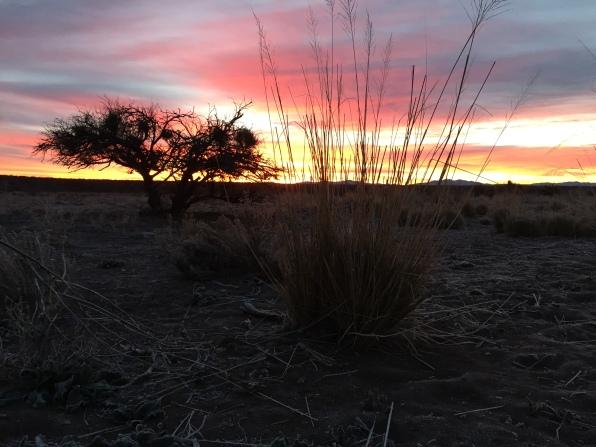 Sacaton In the sun-rise