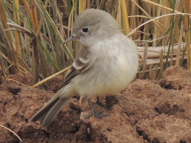 Southern Willow Flycatcher (Empidonax traillii)
