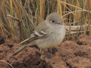 A curious Southern Willow Flycatcher