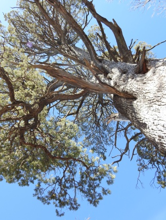 Big Juniper Canopy